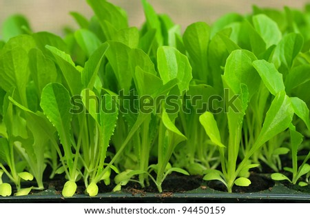 Green lettuce seedling. food and vegetable background.