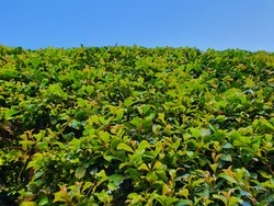 Green lilly pilly hedge view from bottom up to the top edge meeting blue sky on sunny summer day