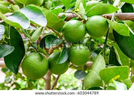 Shutterstock Green limes on a tree. Lime is a hybrid citrus fruit, which is typically round, about 3-6 centimeters in diameter and containing acidic juice vesicles. Limes are excellent source of vitamin C.