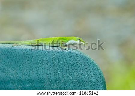 Green Lizard - anolis carolinensis