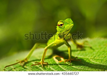 Green lizard. Beautiful animal in the nature habitat. Lizard from forest. Green Garden Lizard, Calotes calotes, detail eye portrait exotic tropic animal in green nature habitat, Sinharaja, Sri Lanka #435660727