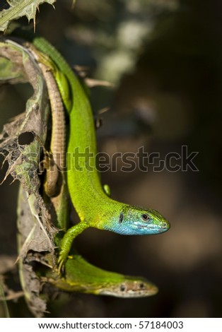 Green Lizard Couple lacerta viridis