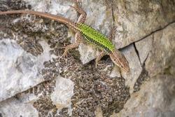 Green Lizard crawling on a stone cliff. The European green lizard Lacerta viridis is a large lizard distributed across European midlatitudes.