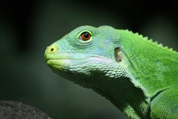 Green Lizard from the side