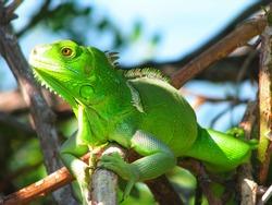 Green lizard in the bushes, Bahia Honda State Park, Florida, USA
