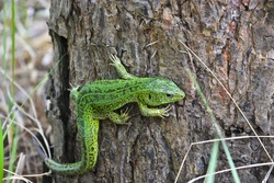 Green lizard in the national Park Meschersky. Green lizard on a background of pine bark.