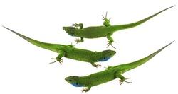 Green lizard isolated