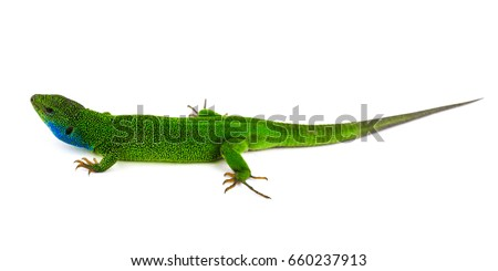Green lizard isolated #660237913
