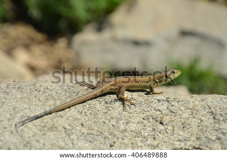 Green Lizard (Lacerta viridis) #406489888