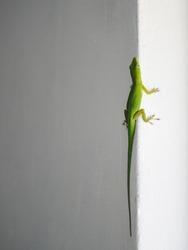 Green lizard on a wall. Portrait of a lizard climbing up a wall