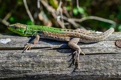 Green lizard on a wooden trunk close up (Lacerta viridis)