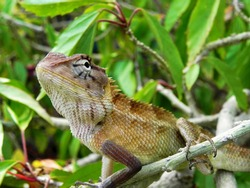 Green lizard on branch, green lizard sunbathing on branch, green lizard climb on wood.
