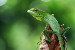 Green lizard on branch, green lizard sunbathing on branch, green lizard  climb on wood, Jubata lizard