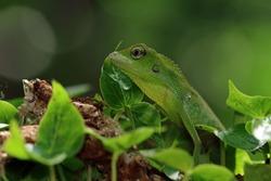 Green lizard on branch, green lizard sunbathing on branch, green lizard  climb on wood, Jubata lizard