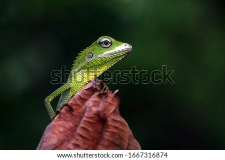 Photo of  Green lizard on branch, green lizard sunbathing on branch, green lizard  climb on wood, Jubata lizard
