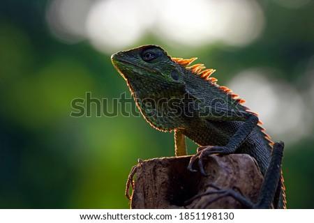 Green lizard on branch, green lizard sunbathing on branch, green lizard  climb on wood, Jubata lizard Foto stock ©