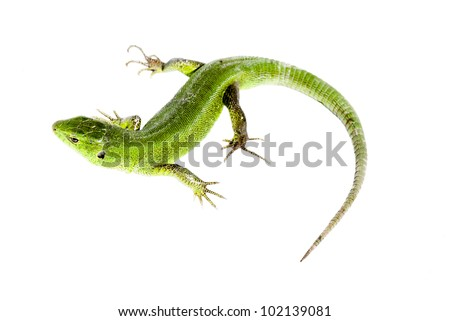 green lizard on white background