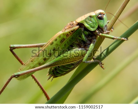 Green locust closeup