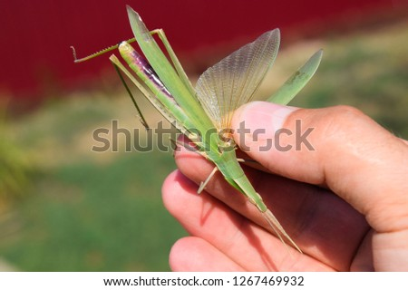 Green locust, wing insect. Pest of agricultural crops. Locust in man's hand. Locust with a straightened wing