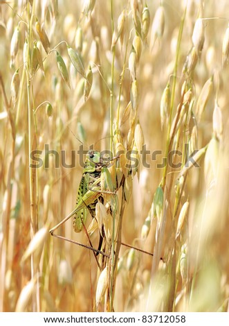 Green locusts devouring a large barley. Insect pest.