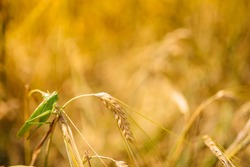 Green locusts devouring a large barley. Insect pest. pest concept in agriculture