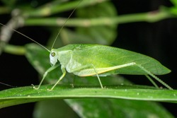 Green, long-legged katydid foraging on a leaf in the rainforest, at night