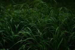 Green longitudinal long dense grass on thin stem in the dark forest. Siberia nature. Pattern