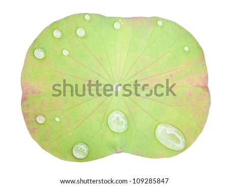 Green Lotus leaf with water drop as white background