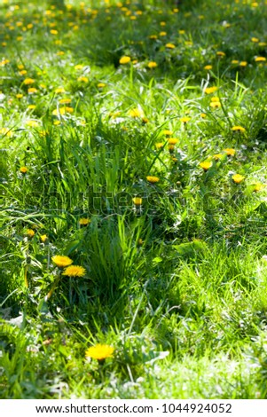 green lush grass and dandelions lit by sunlight and part is in the shade of trees in the forest, closeup in the spring #1044924052