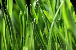 Green lush grass with water drops on blurred background, closeup