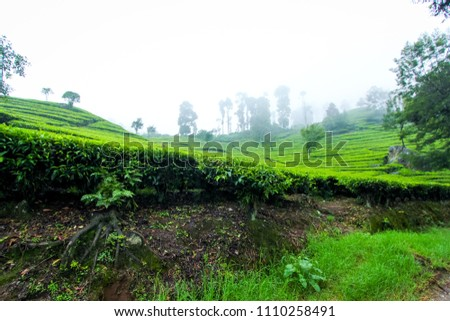 Green Lush Tea Plantation in the Hill Area of Bandung, West Java, Indonesia, Asia #1110258491