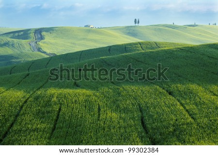 Green luxuriant sloping fields of wheat in the Tuscany region of Italy. This is in Val d'Orcia, a valley in the heart of Tuscany that is a UN World Heritage Site.