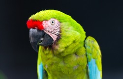 green macaw on black background