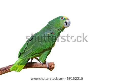 Green macaw parrot talking