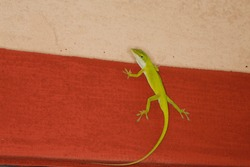 Green male anole lizard on house wall. Isolated closeup.