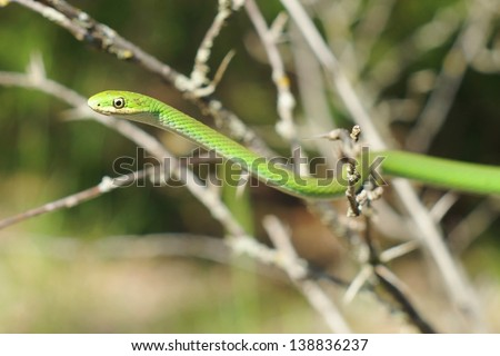 Green Mamba coloration, the arboreal Opheodrys aestivus