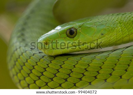 Green Mamba snake (Dendroaspis angusticeps), South Africa