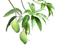 Green Mango Fruit with Branches and Leaves Isolated on White Background