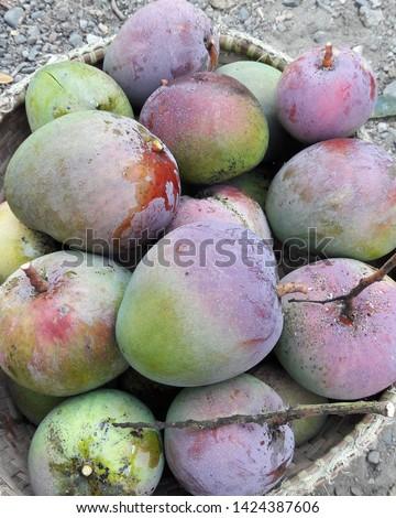 green mangos freshly-picked from my grandma's backyarđ #1424387606