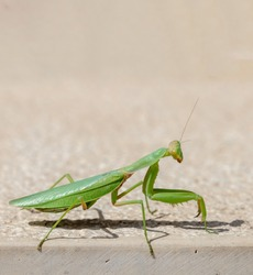 Green mantid, mantidae on beige color wall background. Female praying mantis is an insect that eats the male during mating. Copyspace, vertical closeup view.