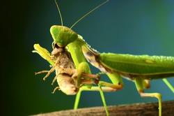 Green mantis eats a grasshopper