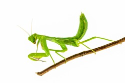 Green mantis isolated on branch with white background,Praying Mantis.