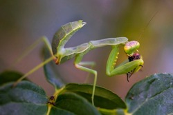 Green Mantis. Macro photo. Insect hunter. A praying mantis eats prey. Mantis on the green leaves. Mantis eats a bee. Prey of a dangerous insect