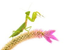 Green mantis on flower isolated on a white background