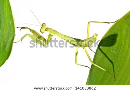 green  mantis on tree close up #141033862