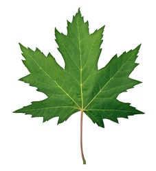 Green Maple Leaf as a spring and summer seasonal themed nature concept also an icon of the fall weather on an isolated white background.