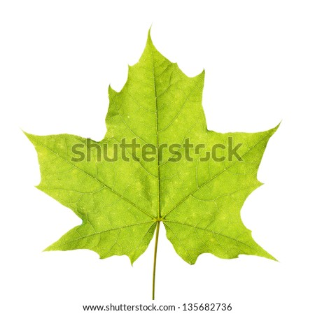Green maple leaf isolated on white bckground.