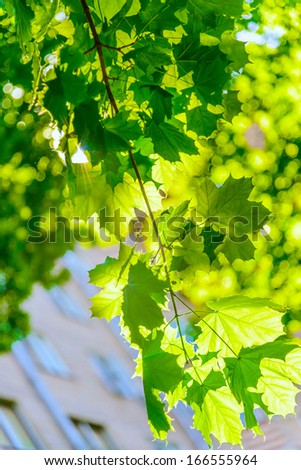 green maple leaves backlit against the sun