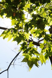 Green maple leaves with the sunlight on a sunny day in spring, Barcelona, Spain