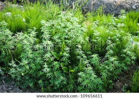 green marijuana leaves close up